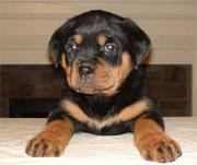 Champion Pedigree KC Rottweiler pups Ready Now
