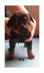 Top Quality Rottweiler Pups No Papers