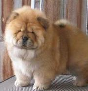 brilliant kc Chow Chow for sale