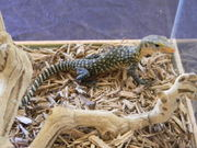 Babies yellow tree monitor and Black and white Argentina tegu for sale